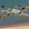 American Avocets, breeding plumage ~ Recurvirostra americana~ Great Lakes