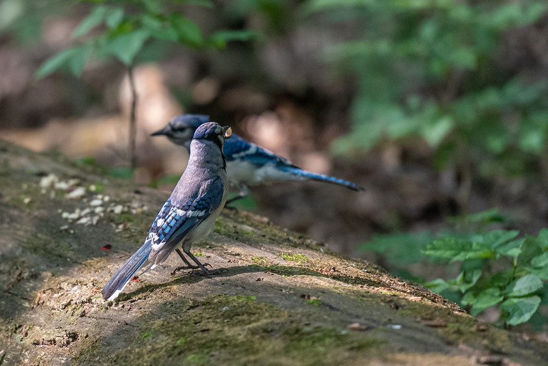Blue Jay with Peanut and Friend ~ Cyanocitta cristata ~ Huron River and Watershed