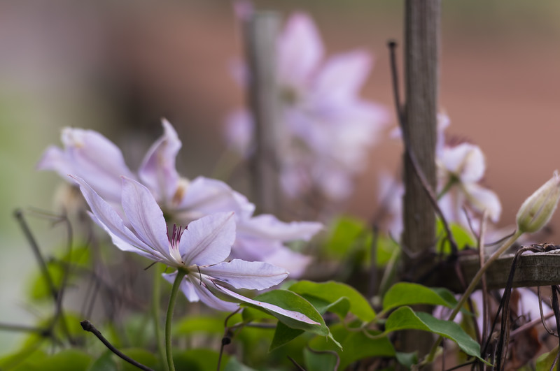 Clematis ~ Huron River and Watershed