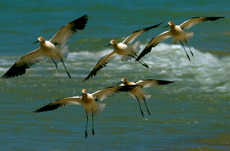 American Avocets, breeding plumage ~ Recurvirostra americana ~ Lake Michigan