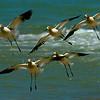 American Avocets, breeding plumage ~ Recurvirostra americana ~ Lake Michigan