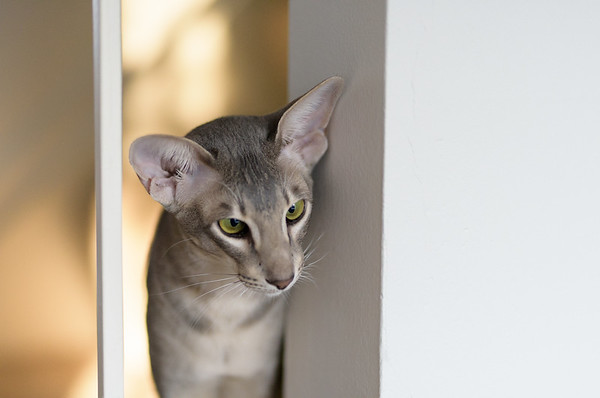 Blue Daniel Bear ~ Oriental Shorthair