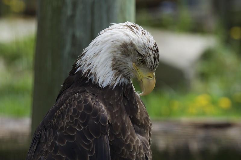 Bald Eagle ~ Haliaeetus leucocephalus