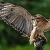 Ranger, the Red-tailed Hawk ~ Buteo jamaicensis ~ Huron River and Watershed, Michigan