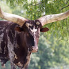 Ankole-Watusi ~ Huron River and Watershed