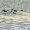 Brown Pelicans ~ Pelecanus occidentals ~ Southern Outer Banks