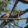 Cedar Waxwing, Juvenile ~ Bombycilla cedrorum ~ Huron River Watershed