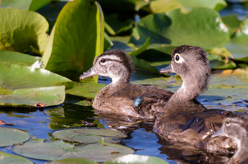 Wood Duckling with Mom ~ Aix sponsa ~ Huron River
