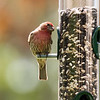 House Finch ~ Haemorhous mexicanus ~ Huron River and Watershed