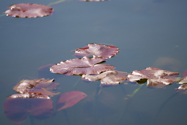 The Light and Darkness of Water Lilies ~ Huron River Watershed, Michigan