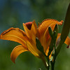 lily ~ Huron River and Watershed