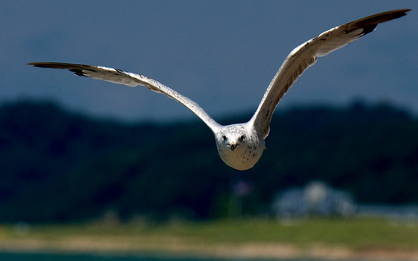 Ring-billed Gull ~ Larus delawarensis ~ Lake Michigan