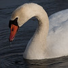 Mute Swan in Winter ~ Cygnus olor ~ Huron River