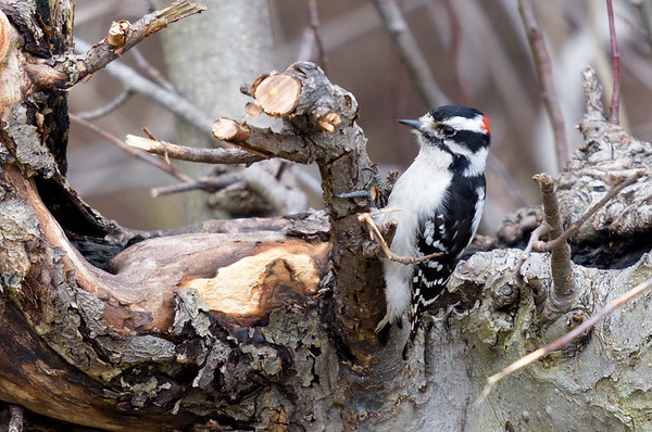Downy Woodpecker ~ Picoides pubescens ~ Huron River and Watershed