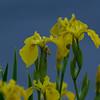 Siberian Iris ~ Iris sibirica ~ Huron River, Michigan