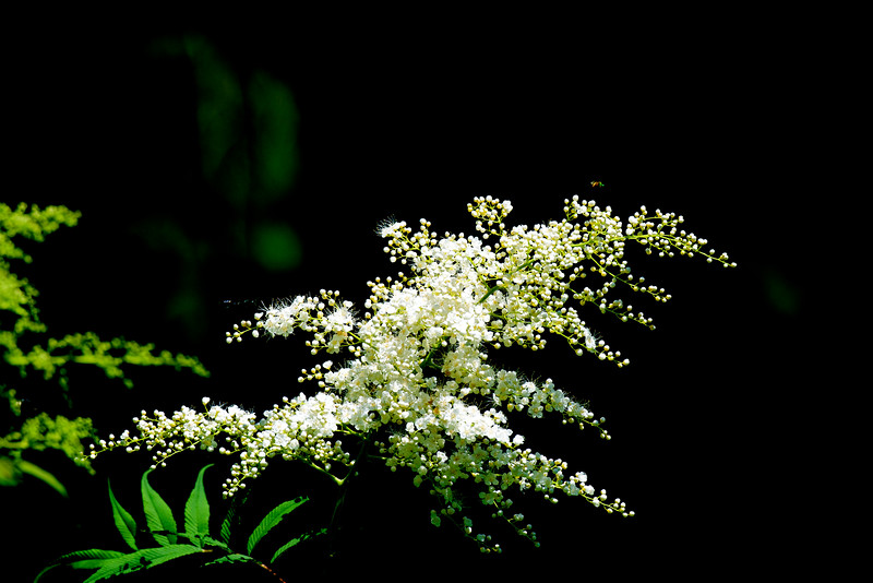 False Spirea ~ Sorbaria sorbifolia ~ Rosaceae (Asia) ~ Huron River Watershed, Michigan