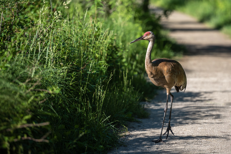 Sandhill Crane, Keeping Watch over His Family ~ Antigone canadensis ~ Huron River and Watershed