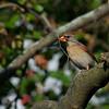 Cardinal, female ~ Michigan