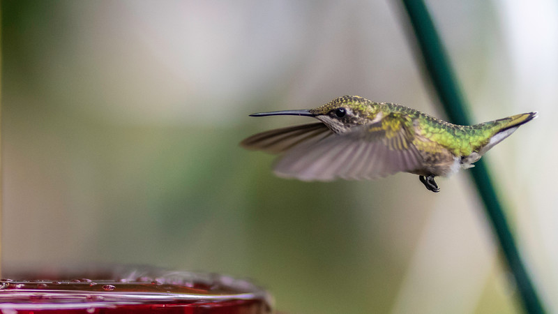 Ruby-throated Hummingbird ~ Archilochus colubris ~ Huron River and Watershed, Michigan