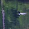 """Spirit of the North"" ~ Common Loon ~ Gavia immer ~ Hancock Pond, Maine"