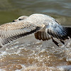 American Herring Gull ~ Larus argentatus ~ solo road trip to Lake Michigan with  new D7100 and lens ~ September 2013