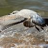Herring Gull ~ Larus argentatus ~ Lake Michigan