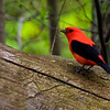 Scarlet Tanager, male ~ Piranga olivacea ~ Scio Woods Preserve, Michigan