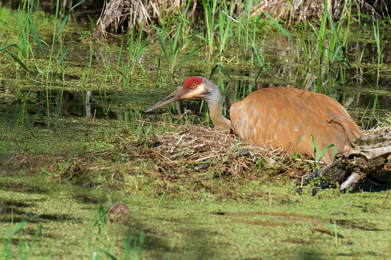Sandhill Crane ~ Grus canadensis ~ Leonard Preserve, River Raisin Watershed, Michigan