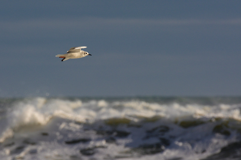 Bonaparte's Gull (adult in winter plumage) ~ Chroicocephalus philadelphia ~ Southern Outer Banks