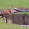 Sandhill Crane ~ Antigone canadensis ~ Huron River