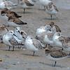 Sanderlings, with Sleeping Dunlins