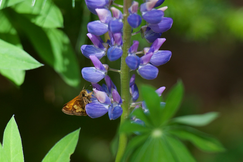 feasting on Lupines ~ Hancock Pond, Maine