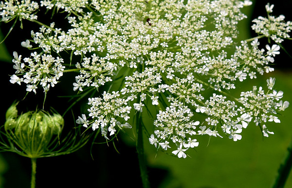 Wild Chervil ~ Anthriscus sylvestris ~ Michigan