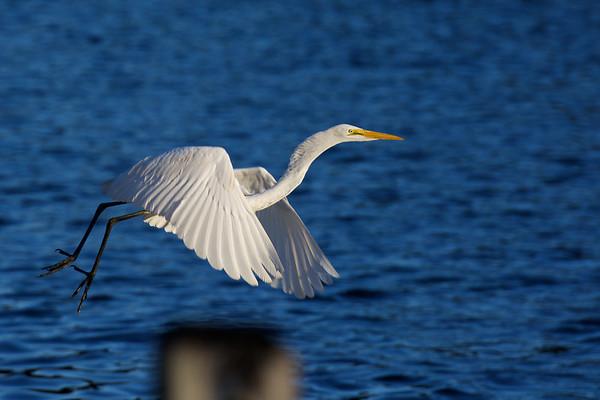 elegant Great Egret ~ Ardea alba ~ Southern Outer Banks