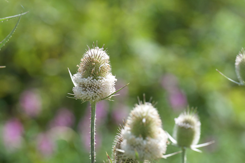cut-leaf teasel ~ Huron River and Watershed