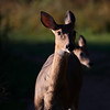 curious doe with fawn ~ Huron River Watershed, Michigan