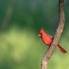 Northern Cardinal, Male ~ Cardinalis cardinalis ~ Huron River and Watershed, Michigan