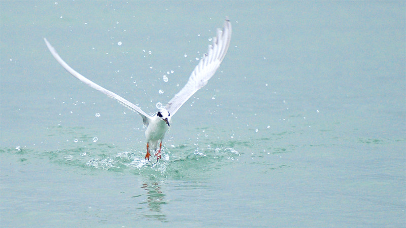 Forster's Tern ~ Sterna forsteri ~ Southern Outer Banks