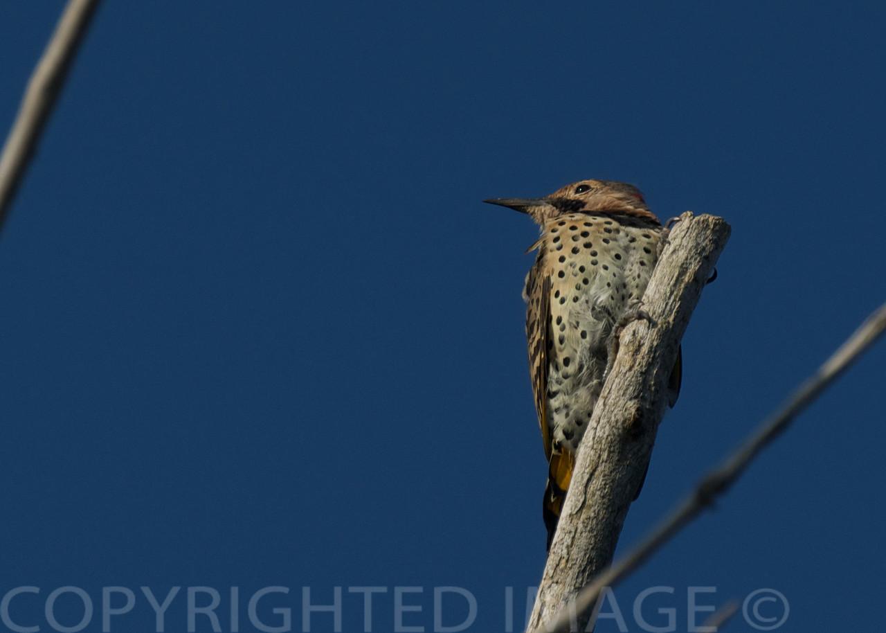 Northern Flicker ~ Colaptes auratus ~ Lake Huron