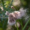 Dandelion Wishes ~ Huron River Watershed