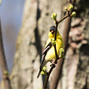 American Goldfinch ~ Spinus tristis ~ Huron River and Watershed