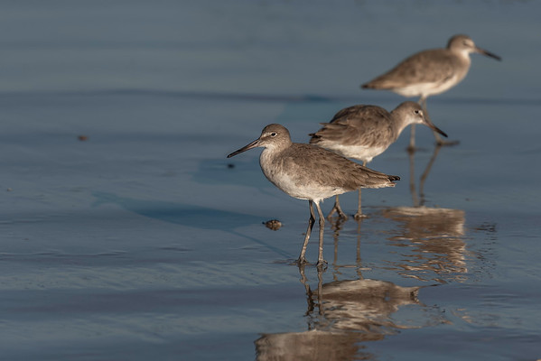 Willets in Winter ~ Tringa semipalmata ~ New Smyrna Beach, Florida