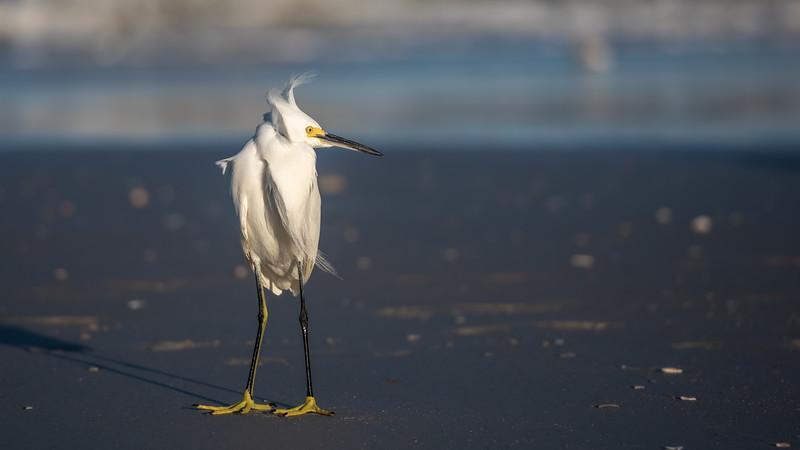 Windswept Snowy Egret ~ Egretta thula ~ New Smyrna Beach, Florida