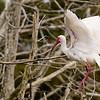 White Ibis, Spreading its Wings ~ Eudocimus albus ~ Southern Outer Banks