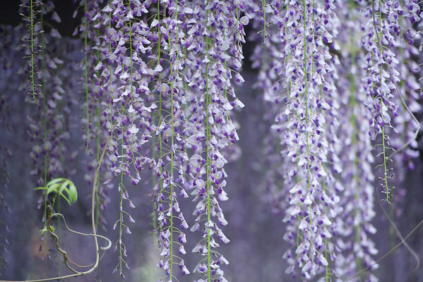 Canopy of Wisteria ~ Michigan