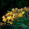 lilies ~ Michigan