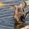 Mallard, Male ~ Anas platyrhynchos ~ Pointe Mouilee, Lake Erie