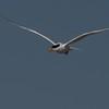 Royal Tern ~ Thalasseus maximus ~ Southern Outer Banks
