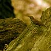 wood thrush ~ Hylocichia mustelina ~ Stinchfield Woods, Michigan