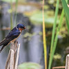 Barn Swallow ~ Hirundo rustica ~ Huron River and Watershed, Michigan